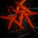 Under water, milieu sous-marin, Diving, plongée, Mediterranean, Méditerranée, Italia, Scilla, Starfish, étoile de mer