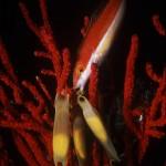 Underwater, milieu sous-marin, Diving,plongée, Mediterranean sea, Méditerranée,Corsica, Corse, Calvi,Wrasse, labre, Red coral, corail rouge